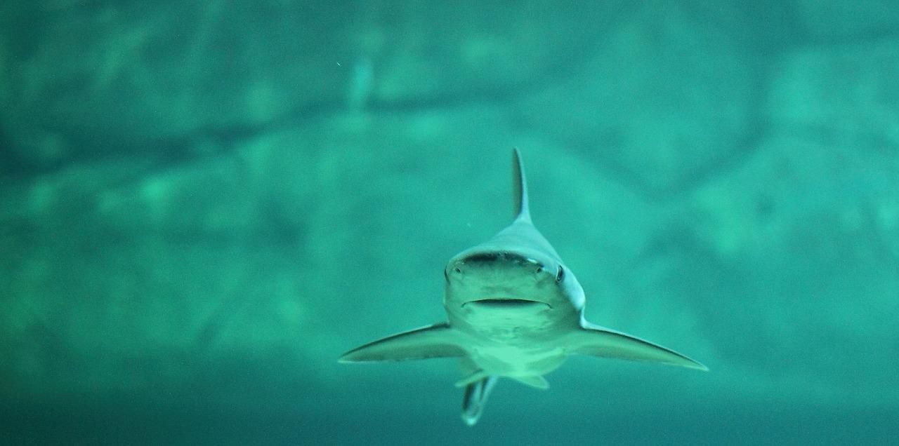Haie - bedrohte Räuber