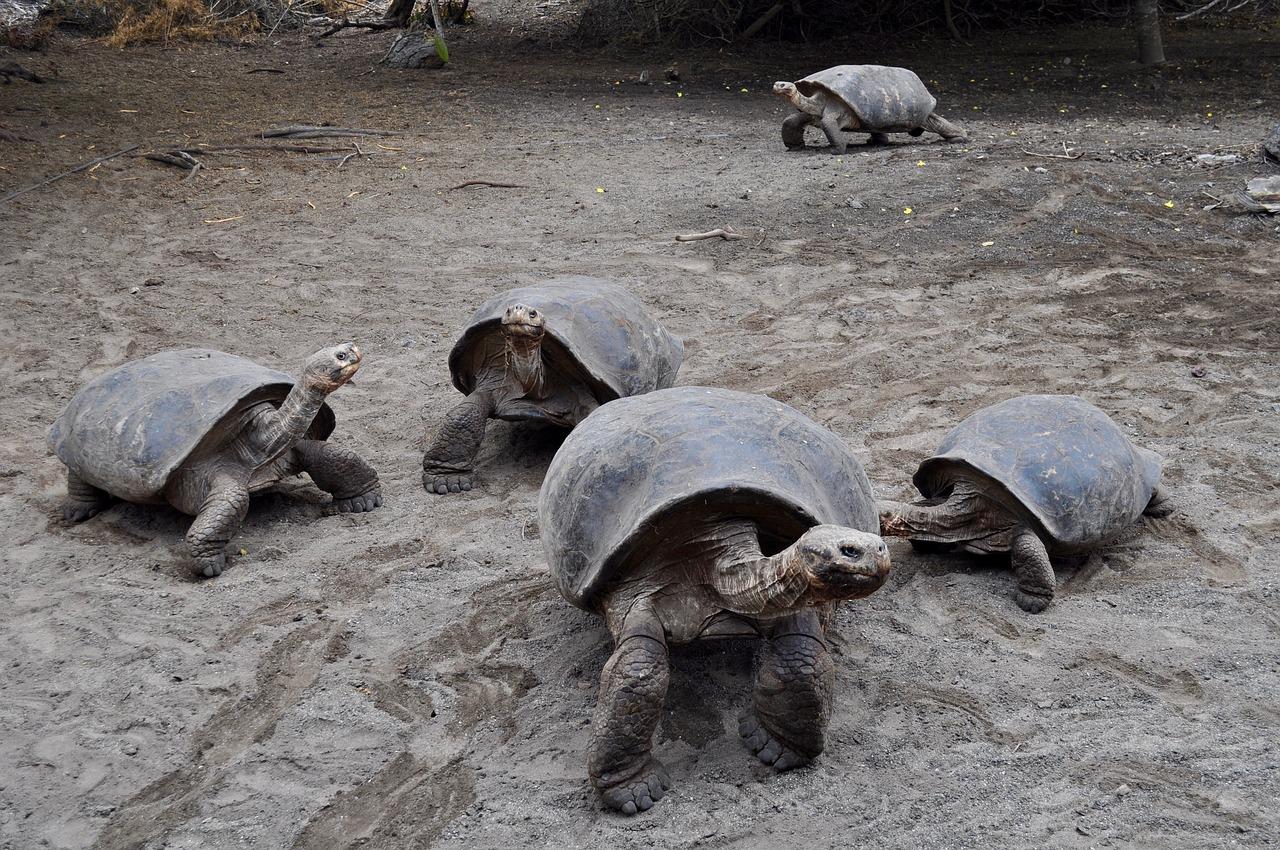 Schildkröten auf den Galapagos-Inseln
