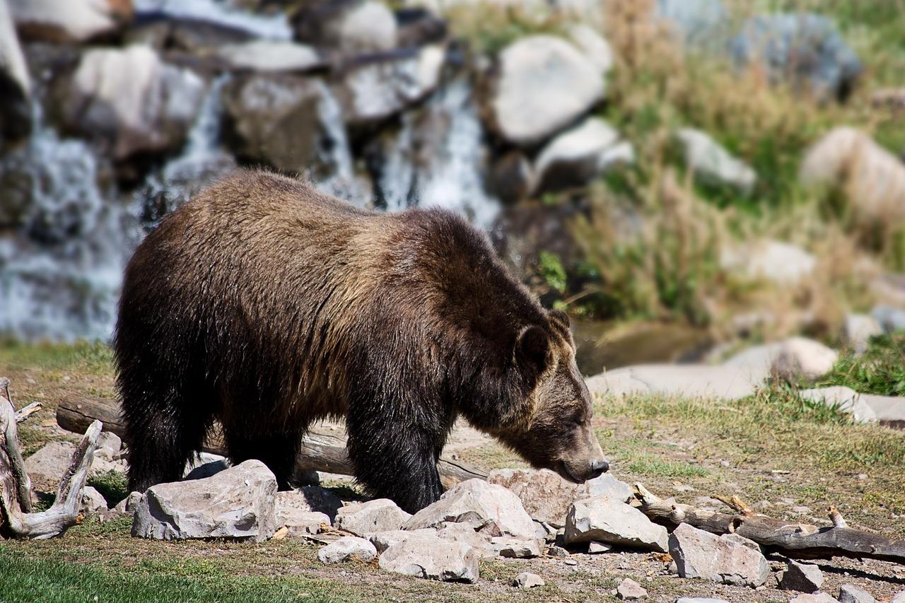 Bärengalle